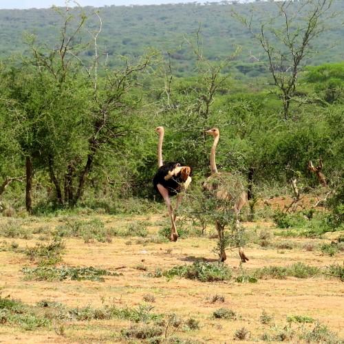 Ostrich in Tanzania