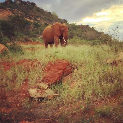 elephant in Kenya